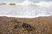 Seaweed washed up on Cley Beach, North Norfolk coast, United Kingdom