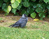 Eurasian Jackdaw (Corvus monedula). Greenock, Scotland. Image taken with a Fuji X-T1 camera and 56 mm f/1.2 lens