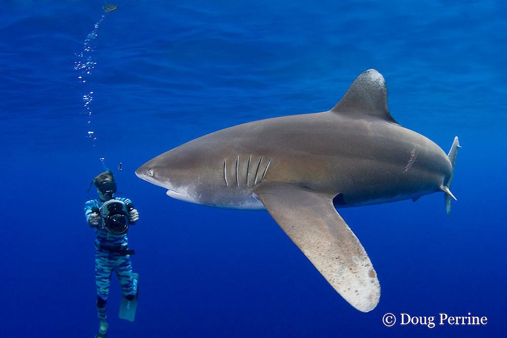 the late Jimmy Hall videotapes oceanic whitetip shark, Carcharhinus longimanus ( female with mating scar ) off the Kona Coast of Hawaii Island ( the Big Island ), Hawaiian Islands ( Central Pacific Ocean ) MR 384