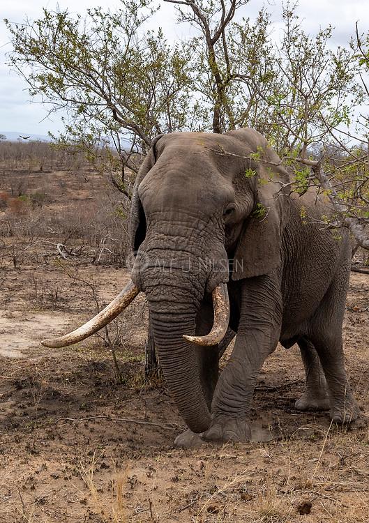 Huge African elephant (Loxodonta africana) with big tusks  in Kruger National Park, South Africa.