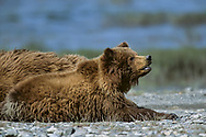 Alaskan brown bear cub resting alertly on gravel beach along the McNeil River, Alaska, © David A. Ponton