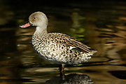 Cape teal, Anas capensis, Western Cape, South Africa,  exceptionally lightly coloured duck