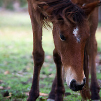 USA, Georgia, Cumberland Island. Face of feral horse on Cumberland Island.