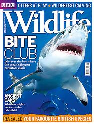 BBC Wildlife Magazine August 2013 issue, magazine cover use, editorial, USA, Image ID: Great-White-Shark-0014-V