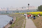 Seocho-gu, Han River. Hangang Park. Rape field in full bloom.
