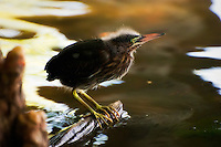 A young hunting green heron remains motionless while looking for small fish and insects.