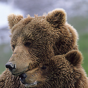 Alaskan Brown Bear (Ursus middendorffi) portrait of a sow and her cub.