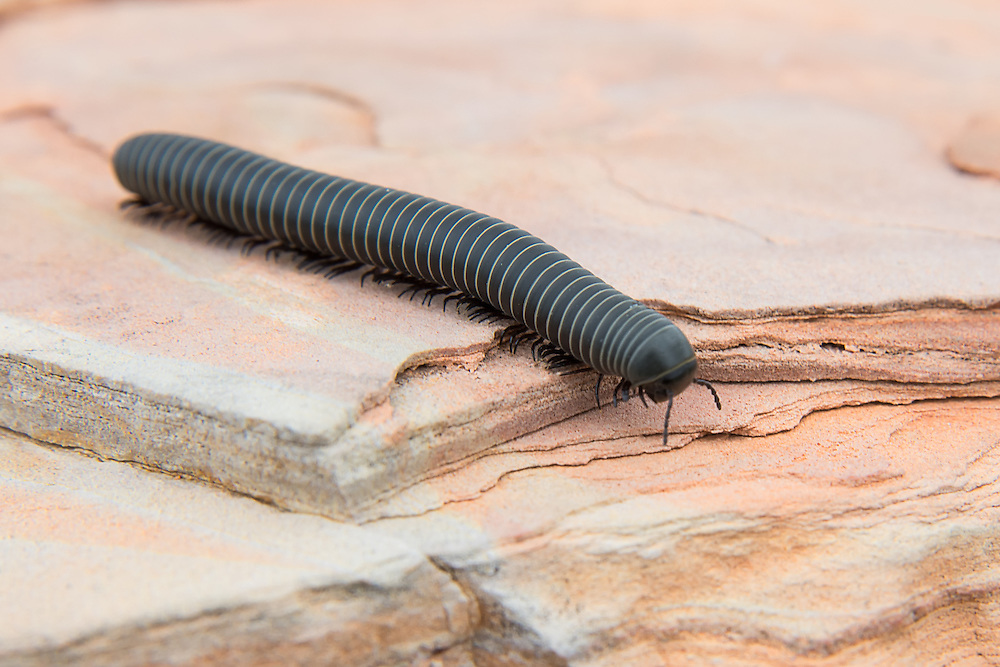 Found primarily in the arid regions of Texas and Northern Mexico, this huge slate millipede is also known as the Chihuahuan millipede. I found by this one by sheer accident on a chilly spring morning in the Big Bend area of Western Texas as I was winding my way up toward the Chisos Mountains.