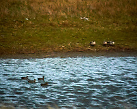 Ducks in Torres de Paine, Ultima Esperanza, Magallanes, Chile. Image taken with a Nikon N1V3 camera and 70-300 mm VR lens (ISO 200, 300 mm, f/5.6, 1/2000 sec).