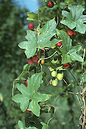 Climbing perennial whose progress is aided by long, unbranched tendrils. Found in hedges and woodland margins. FLOWERS are greenish, 5-parted and borne on separate-sex plants; arise from leaf axils (May-Aug). FRUITS are red, shiny berries. LEAVES are 4-7cm across and divided into 5 lobes.