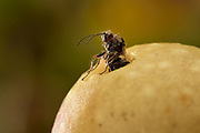 Die Gallen der Gemeinen Eichengallwespe (Cynips quercusfolii)  fallen im Herbst mit den Blättern zu Boden. Dort schlüpft dann aus jeder Galle jeweils eine weibliche Wespe (dies ist die eingschlechtliche Generation). Diese Weibchen legen dann an einer Eichenknospe die Eier für die kommende bisexuelle Genaration, aus der dann im Mai männliche und weibliche Tiere schlüpfen. Die begatteten Weibchen legen später auf Blättern wieder Eier, die dann die hier gezeigte Galle noch im selben Jahr entstehen lassen.
