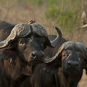 Red-billed oxpecker picking ticks from the face of a cape buffalo, Timbavati Game Reserve, South Africa.