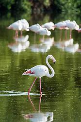 Pink flamingos at Ras al Khor wildlife bird sanctuary and wetlands in Dubai United Arab Emirates