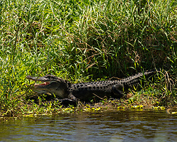 American Alligator with it's mouth open, Lake Apopka Wildlife Drive, Florida. Image taken by Ed Aldridge with a NIKON Z 6_2 and 500mm f/4D at 500mm, ISO 2500, f8, 1/2000.