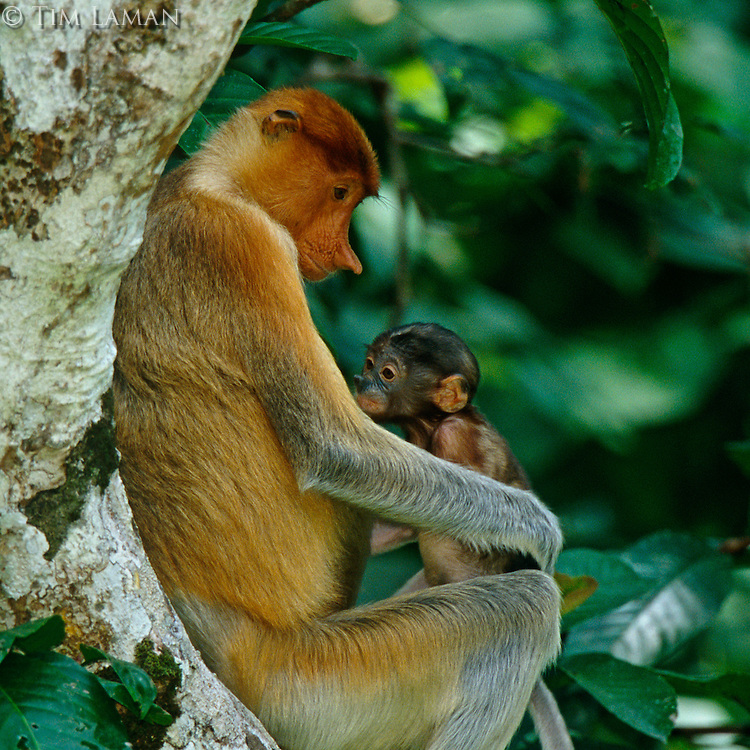 Proboscis Monkey (Nasalis larvatus) female with young baby.  Newborn proboscis monkeys are dark in color for the first few months.<br /> Kinabatangan Wildlife Sanctuary, Sabah, Malaysia, Borneo.