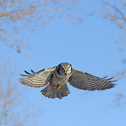 Northern Hawk Owl (Surnia ulula) in flight during winter in northern Minnesota.