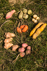 Colorful potatoes of different varieties, Vicos, Peru, South America