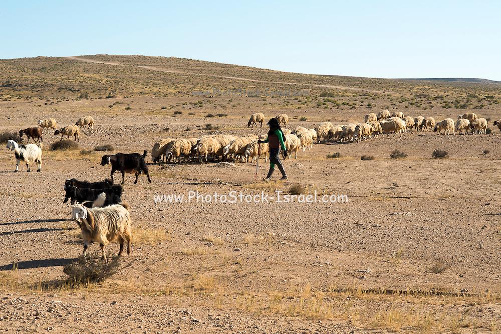 Israel, Negev desert, Bedouin shepherd and her herd sheep