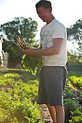 Organic farmer, Dave Bell harvesting carrots at his farm in Draper, Utah.