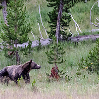 Face Off! Back to dinner! Bear returns to feast on the elk kill he has stolen from wolf. Yellowstone National Park, Wyoming.