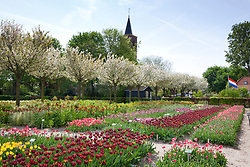 Lines of historic Rembrandt tulips at Hortus Bulborum, Limmen, Holland