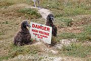 Laysan albatross chicks cuddle up to a warning sign, Phoebastria immutabilis, feeding chick, Sand Island, Midway Atoll, Midway National Wildlife Refuge, Papahanaumokuakea Marine National Monument, Northwest Hawaiian Islands, USA ( North Pacific Ocean )