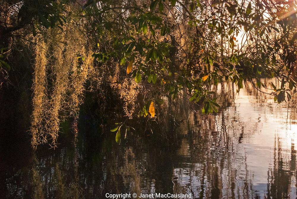 Sun lit moss in the Okefenokee