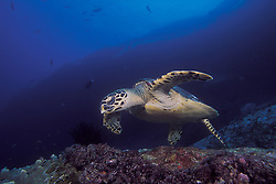 A Hawksbill Turtle, Eretmochelys imbricata, cruises slowly over a deep reef, searching for sponges and coralomorphs to feed upon. Similan Islands Marine National Park, Thailand, Andaman Sea