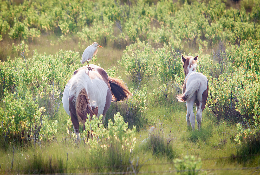 Ponies and cattle egrets feed and groom at Assateague Island National Park.
