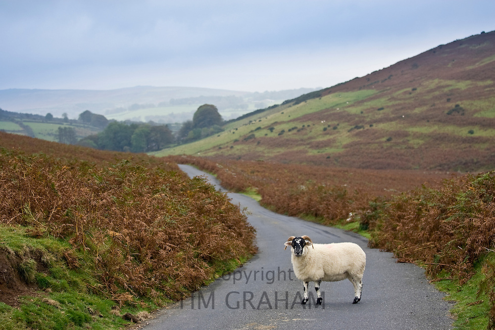 Blackfaced sheep in a country lane, Dartmoor, Devon,  United Kingdom