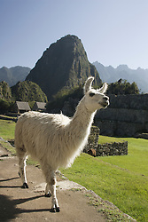Llama in Machu Picchu, ruins of Inca city, Peru, South America;