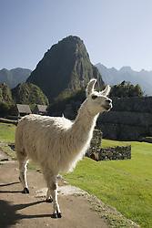 Llama in Machu Picchu, ruins of Inca city, Peru, South America;
