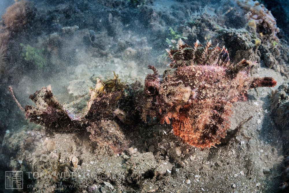 Two scorpionfish (Scorpaenopsis sp.) engaged in a territorial dispute. The two fish faced off for several minutes without moving, then the pair suddenly leapt toward one another, locking jaws and spinning in circles until one left the area.
