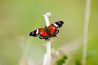 MARIPOSA PRINCESA ROJA (Anartia amathea Linnaeus)
