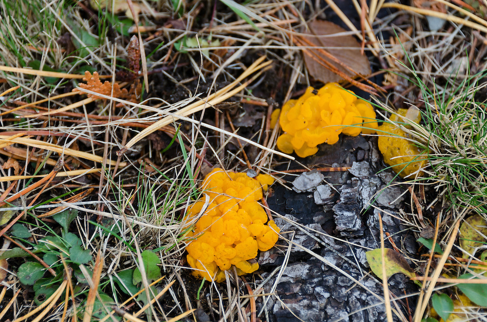 Orange Jelly Fungus (Dacrymyces palmatus) growing on the roots of a Pitch Pine (Pinus rigida) in Seal Harbor, Maine.