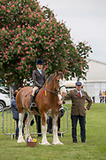 A Suffolk Punch with owners at a show horse display annual Suffolk Show at the Suffolk Show Ground on the 29th May 2019 in Ipswich in the United Kingdom. The Suffolk Show is an annual show that takes place in Trinity Park, Ipswich in the English county of Suffolk. It is organised by the Suffolk Agricultural Association.
