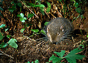 A wild mountain beaver (Aplodontia rufa) emerging from its burrow at night in the Mount Hood National Forest, Oregon.