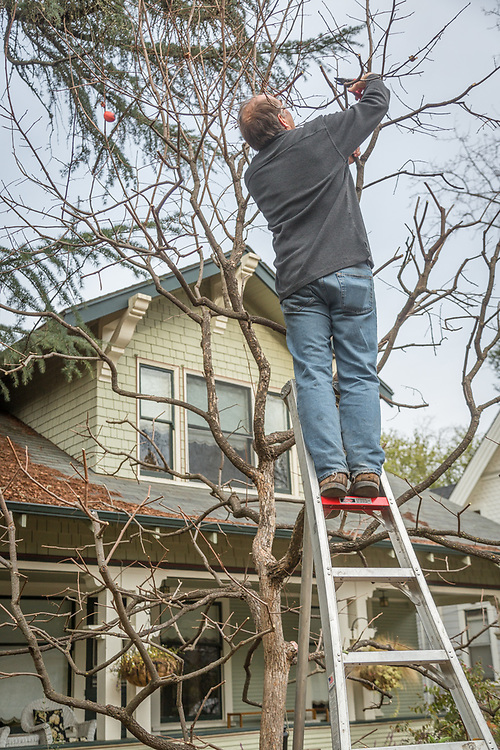 """""""I believe this is an important tree in our front yard.  I prune it because it makes our house look good.""""  -Stephan Hawks works on his persimmon tree on Cedar Street in Calistoga."""