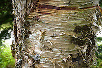 Close up of tree bark in forest, Cutler Maine.