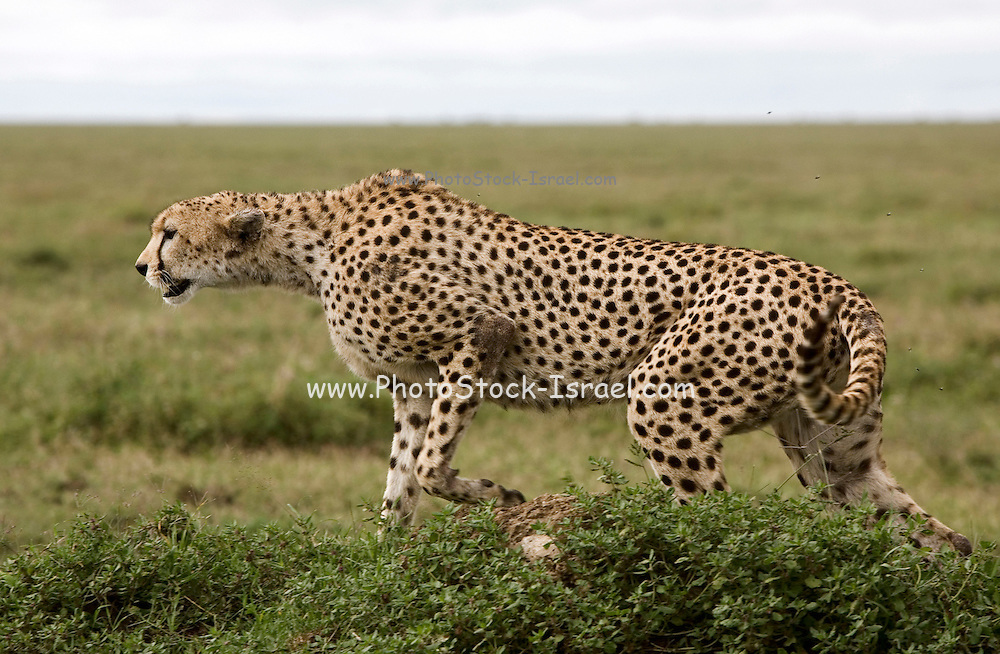 Alert Cheetah, the Ngorongoro Conservation Area or NCA is a conservation area situated 180 km west of Arusha in the Crater Highlands area of Tanzania.
