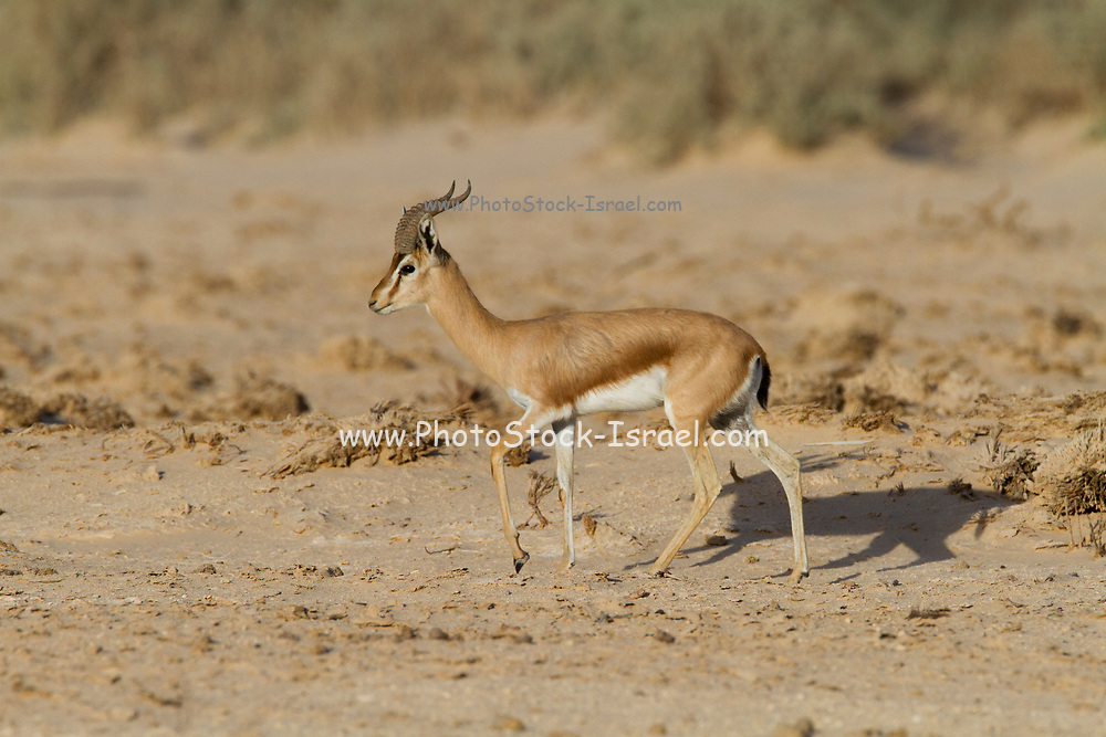 The dorcas gazelle (Gazella dorcas), also known as the ariel gazelle, is a small and common gazelle. The dorcas gazelle stands about 55–65 cm at the shoulder, with a head and body length of 90–110 cm and a weight of 15–20 kg. Photographed in the Negev Desert, Israel in April