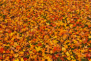 Sugar maple leaves in autumn<br />Ste. Famille on Ile d'Orleans<br />Quebec<br />Canada