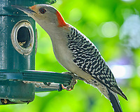 Red-bellied Woodpecker (Melanerpes carolinus). Image taken with a Fuji X-H1 camera and 200 mm f/2 lens + 1.4x teleconverter.