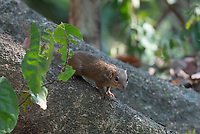 The northern treeshrew (Tupaia belangeri) is a treeshrew species native to Thailand above the Ismus of Kra. Northern tree shrews have grayish, olive fur. These animals are diurnal and territorial, marking their spots using scent gland located in the abdomen and chin.. Northern tree shrews live in rainforests. They are sometimes arboreal, but are most often found on or near the ground level. During dry months when the leaf litter dries up and reduces the amount of prey available on the ground, they are found more frequently in the trees.