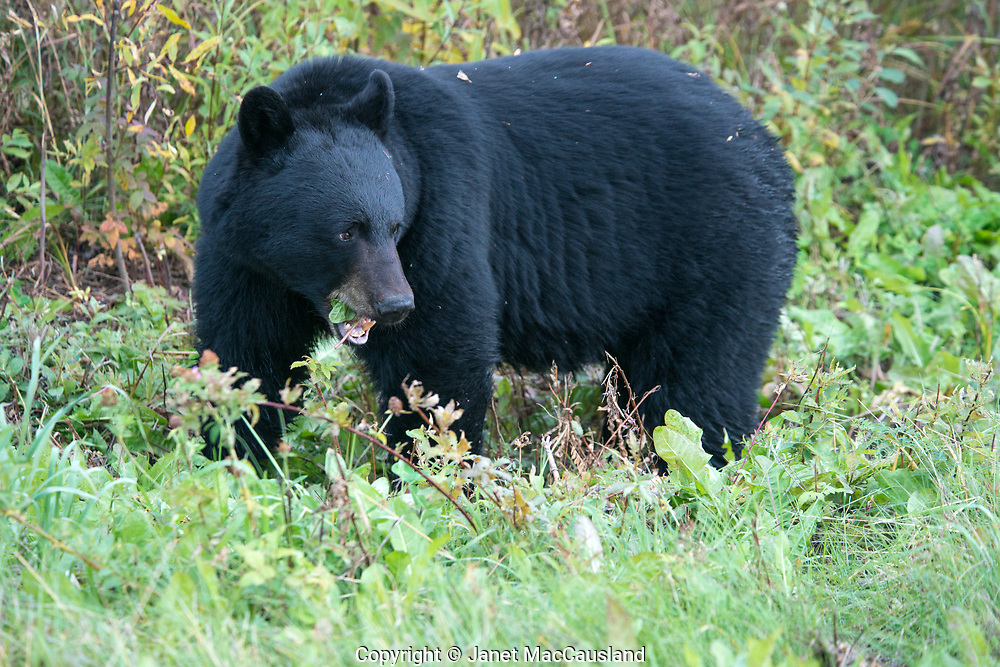 It's fall in the Canadian Rockies and the American black bear (Ursus americanus) isn't pausing it's eating of berries because I have stopped to photograph.