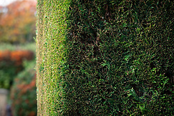 Chamaecyparis lawsoniana - Lawson's cypress hedge