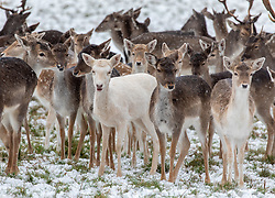 © Licensed to London News Pictures. 24/01/2021. London, UK. A white deer stands out from the rest of the pack in the snowy conditions in Richmond Park South West London today as heavy snowfalls hit the South East with temperatures dropping to -4c. A chilly day ahead is forecast for London with the Met Office issuing a yellow weather warning for snow and ice with disruption to travel as the cold weather continues. Photo credit: Alex Lentati/LNP