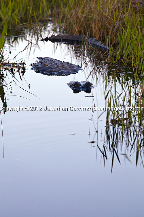 An American alligator (Alligator mississippiensis) faces the camera from a partially submerged position in a shallow pool in the Shark Valley section of Everglades National Park, Florida. WATERMARKS WILL NOT APPEAR ON PRINTS OR LICENSED IMAGES.
