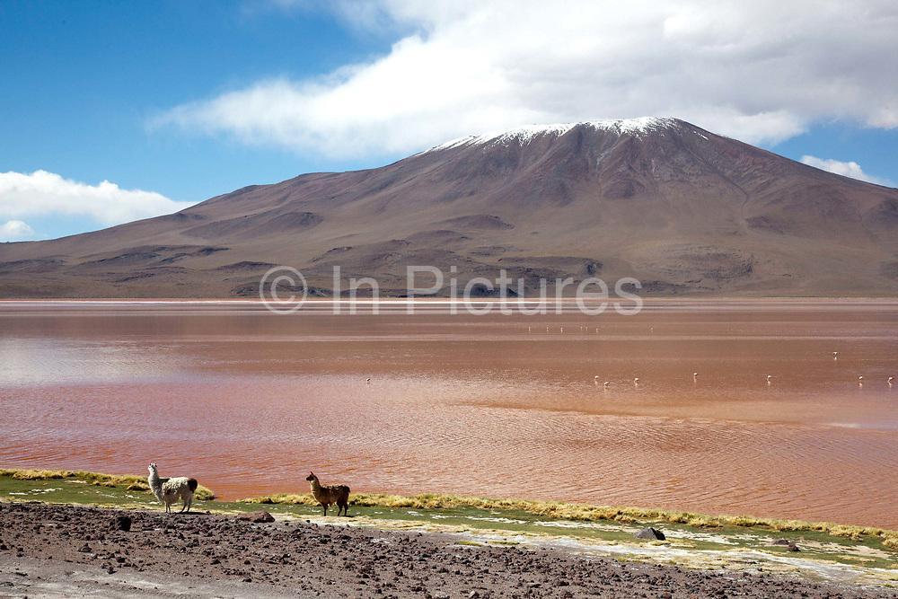 Llamas two 2 next to the laguna roja red lagoon with a snow capped volcano in the background. Salar Uyuni salt flats and Eduardo Avaroa national park, south western Bolivia