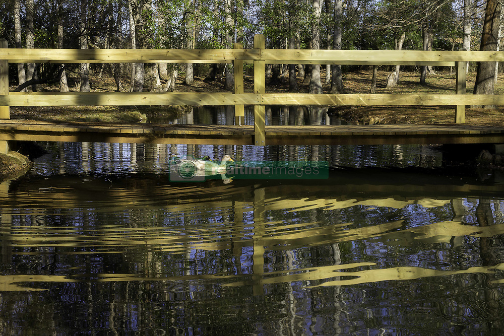 January 2, 2018 - Fayette, Alabama, USA - The temperatures may be cold, but the sun was out this afternoon, Tuesday,  Jan. 2nd, 2018 as were these two ducks at Guthrie Smith Park in Fayette, Alabama.The temperatures have been well below normal for this time of year in the south. (Credit Image: © Tim Thompson via ZUMA Wire)